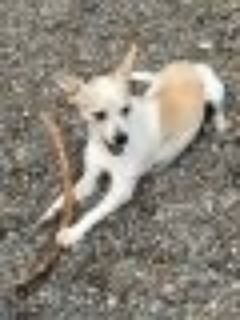 TYLER-Friendly playful Jack Russell Terrier - Chihuahua Dog