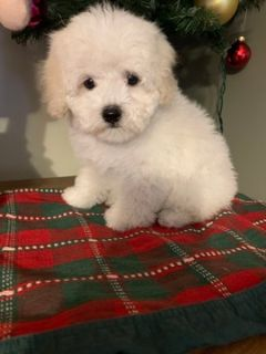 Maltese-Poodle (Toy) Mix PUPPY FOR SALE ADN-108261 - malti poos