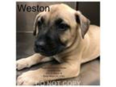 Adopt Weston a Boxer, American Staffordshire Terrier
