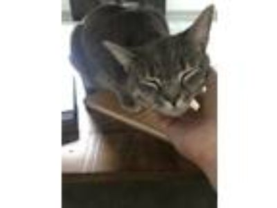 Adopt Sophie a Gray, Blue or Silver Tabby Domestic Shorthair / Mixed cat in