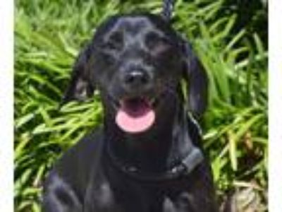 Adopt Amelia a Black Dachshund / Mixed Breed (Small) / Mixed dog in Allen town
