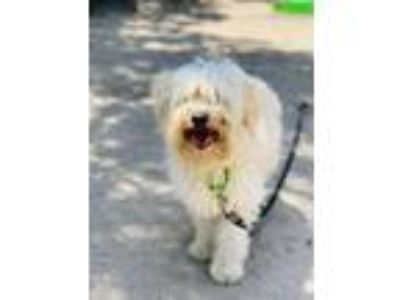 Adopt Walter a Standard Schnauzer / Poodle (Miniature) / Mixed dog in Seal