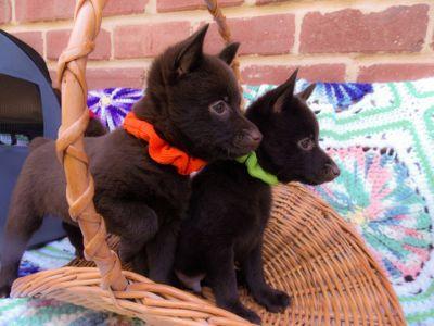 Schipperke PUPPY FOR SALE ADN-94722 - AKC Schipperke Puppy For Sale