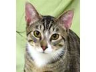 Adopt Mihos a Domestic Shorthair / Mixed cat in Sherwood, OR (25337087)