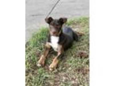 Adopt Jayda a Doberman Pinscher, Retriever