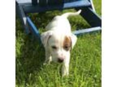 Adopt Cash a White Labrador Retriever / Mixed dog in Bloomingdale, IL (25475074)