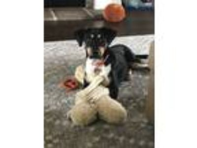 Adopt Winston a Black - with White Hound (Unknown Type) / Labrador Retriever /