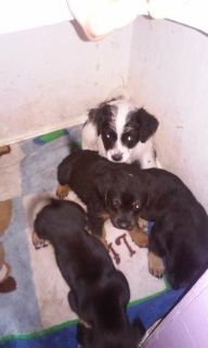 poodle mix puppies FREE