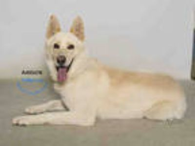Adopt a Tan/Yellow/Fawn - with White German Shepherd Dog / Mixed dog in Moreno