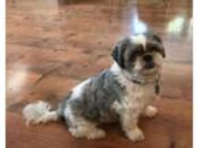 Adopt Buffy a White Shih Tzu / Mixed dog in Baltimore, MD (25599476)