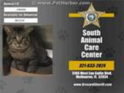 Adopt ASTRONOMER a Gray, Blue or Silver Tabby Domestic Shorthair / Mixed (short