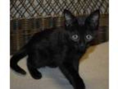 Adopt Debbie a All Black Domestic Shorthair / Domestic Shorthair / Mixed cat in