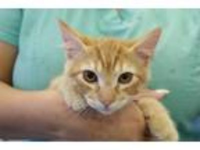 Adopt URI a Domestic Shorthair / Mixed (short coat) cat in Redwood City