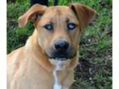 Adopt Duce a Labrador Retriever, Catahoula Leopard Dog
