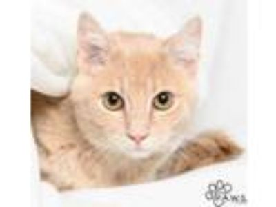 Adopt Chino a Tan or Fawn Domestic Shorthair / Domestic Shorthair / Mixed cat in