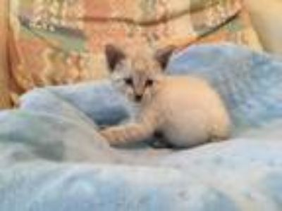 Adopt Amaretto a Domestic Short Hair, Siamese