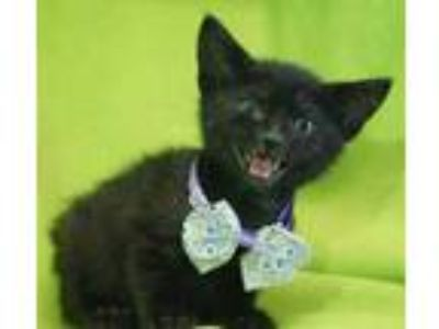 Adopt Macaroon a All Black Domestic Shorthair / Domestic Shorthair / Mixed cat