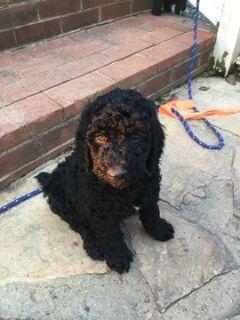 Poodle (Standard) PUPPY FOR SALE ADN-93253 - Black Standard Poodles