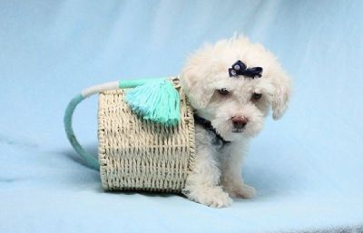 Cute and Adorable Teacup Maltipoo Puppies for Sale in Las Vegas! Financing and Shipping Available!