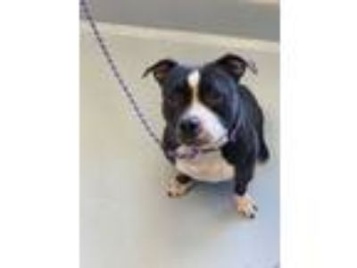Adopt Babe a Black - with White Mixed Breed (Large) / Pit Bull Terrier / Mixed