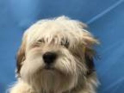 Adopt Fergus a Shih Tzu, Mixed Breed