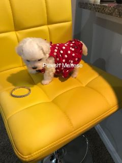 Female nano teacup maltese puppy - adult size estimate 3lbs