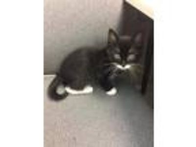 Adopt Rigamarole a Black & White or Tuxedo Domestic Shorthair / Mixed cat in St.