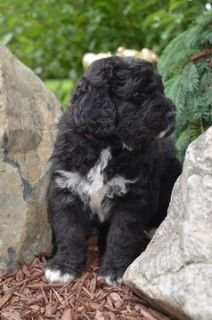Bernedoodle PUPPY FOR SALE ADN-79509 - Bernedoodle Puppies