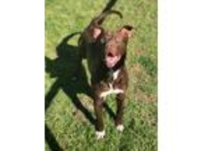 Adopt CLARENCE a Brown/Chocolate - with White Labrador Retriever / Pit Bull