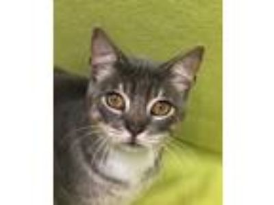 Adopt Frankie a Gray or Blue (Mostly) Domestic Shorthair (short coat) cat in