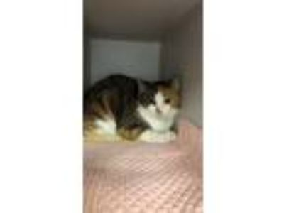 Adopt Amber a Domestic Shorthair / Mixed cat in Madison, NJ (24298417)