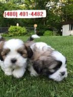 Registered shih tzu Puppies for Adoption