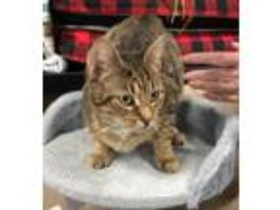 Adopt Fawn a Domestic Short Hair