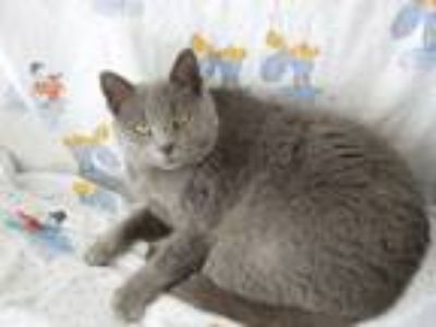 Adopt Little Tawny a Russian Blue, Domestic Short Hair