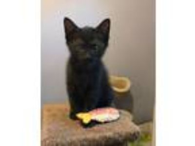 Adopt Franklin a All Black Domestic Shorthair (short coat) cat in Charlotte