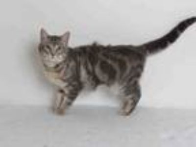 Adopt A582464 a Domestic Short Hair