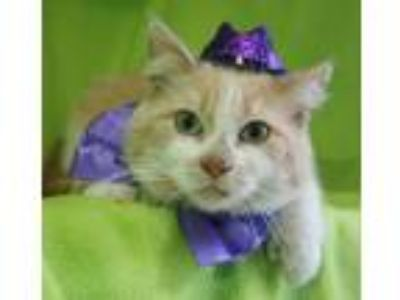 Adopt Sweet Face a Domestic Short Hair