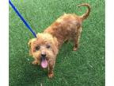 Adopt Yvonne a Red/Golden/Orange/Chestnut Poodle (Miniature) / Mixed dog in