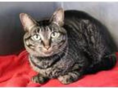 Adopt Cashmere a Brown or Chocolate Domestic Shorthair / Domestic Shorthair /