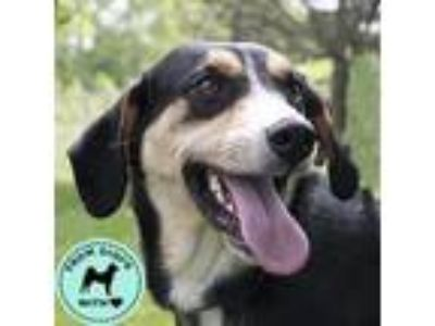 Adopt Miley a Black Hound (Unknown Type) / Mixed dog in Hilliard, OH (25331220)