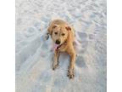 Adopt Zak a Labrador Retriever, Boxer