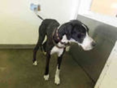 Adopt LILY a Black - with White Mixed Breed (Medium) / Great Dane / Mixed dog in
