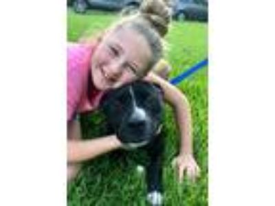 Adopt Vinny a Black - with White Staffordshire Bull Terrier / Mixed dog in