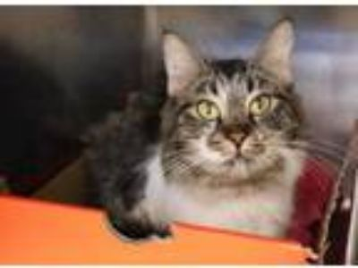 Adopt Hope a Gray or Blue Domestic Shorthair / Domestic Shorthair / Mixed cat in