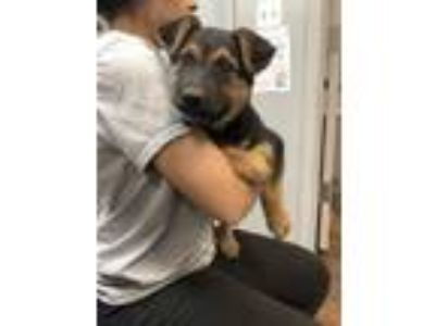 Adopt Fenty a German Shepherd Dog, Mixed Breed