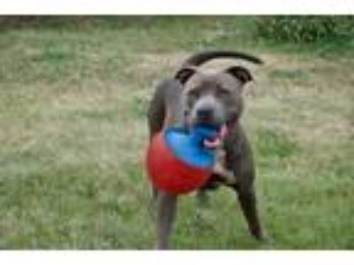 Adopt Ava a Gray/Blue/Silver/Salt & Pepper American Pit Bull Terrier / Mixed dog