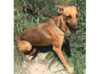 Adopt ELMO a Tan/Yellow/Fawn - with Black Belgian Malinois / Mixed dog in