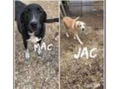 Adopt Jac & Mac a Great Pyrenees, Border Collie