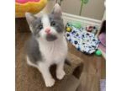Adopt Clark Gable a Gray or Blue Domestic Shorthair cat in Los Angeles