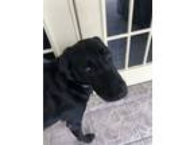 Adopt Sampson a Black Labrador Retriever / Mixed dog in Boynton Beach